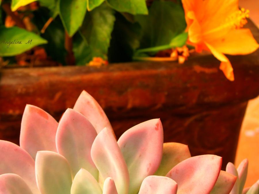 hibiscusandsucculent
