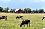 cows14
