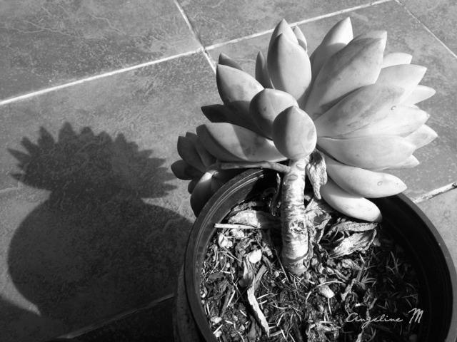blackwhitesucculent