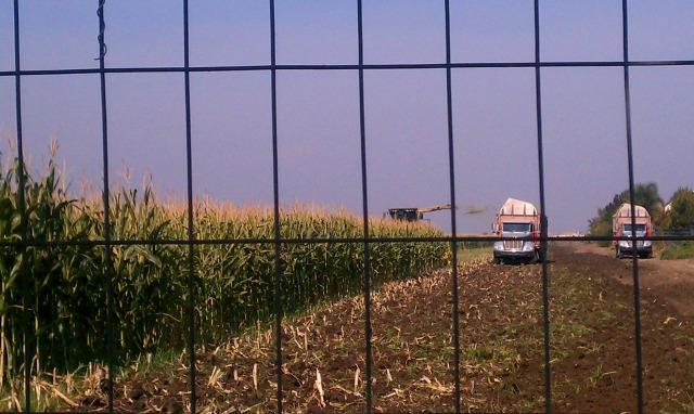 cornfield6