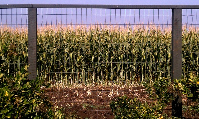 cornfield7