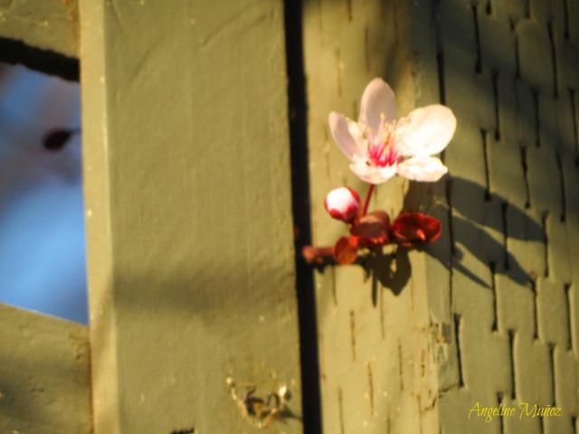 fenceflowerpink