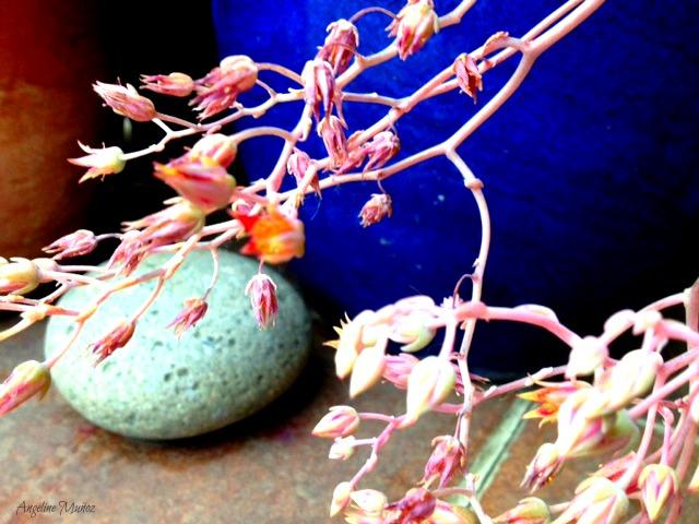 succulentfloweragainstblueandrock