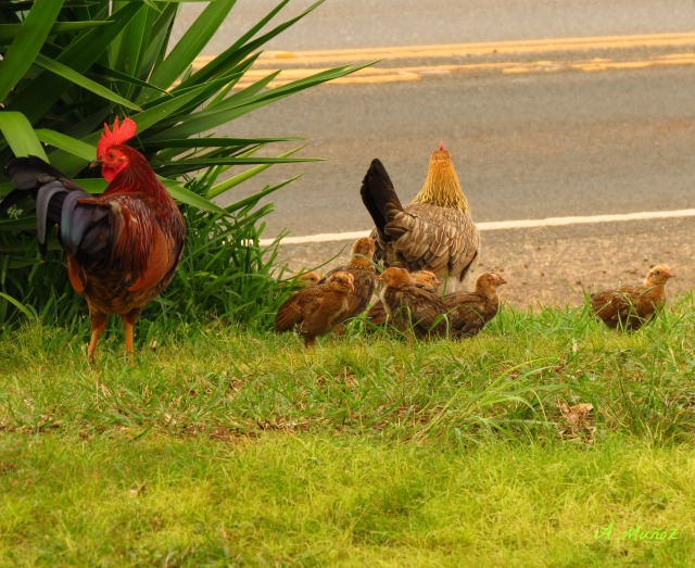northshorechickens