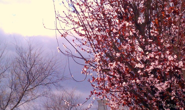 blossomstormclouds1