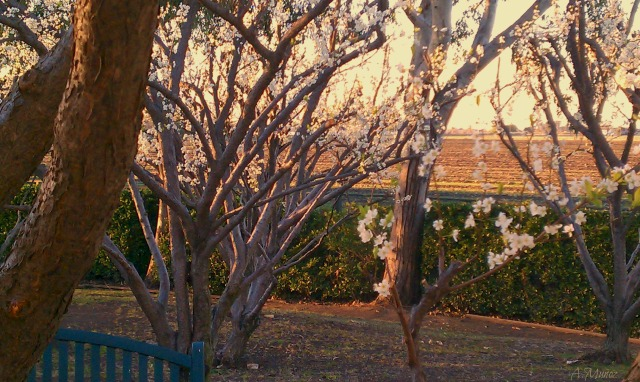 blossomtreesbyfields2