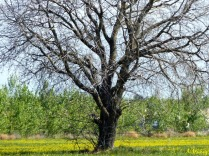 tree in mustard field