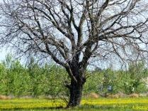 tree in mustard field