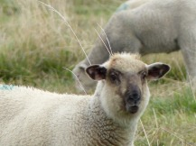 sheep on alert