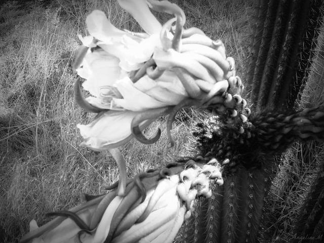 cactusblackandwhite11