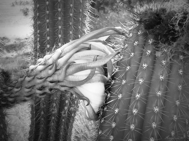 cactusblackandwhite42