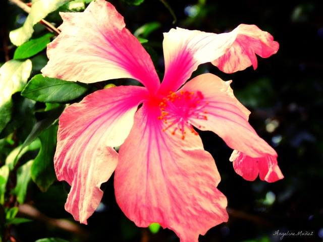 hawaiianhibiscus
