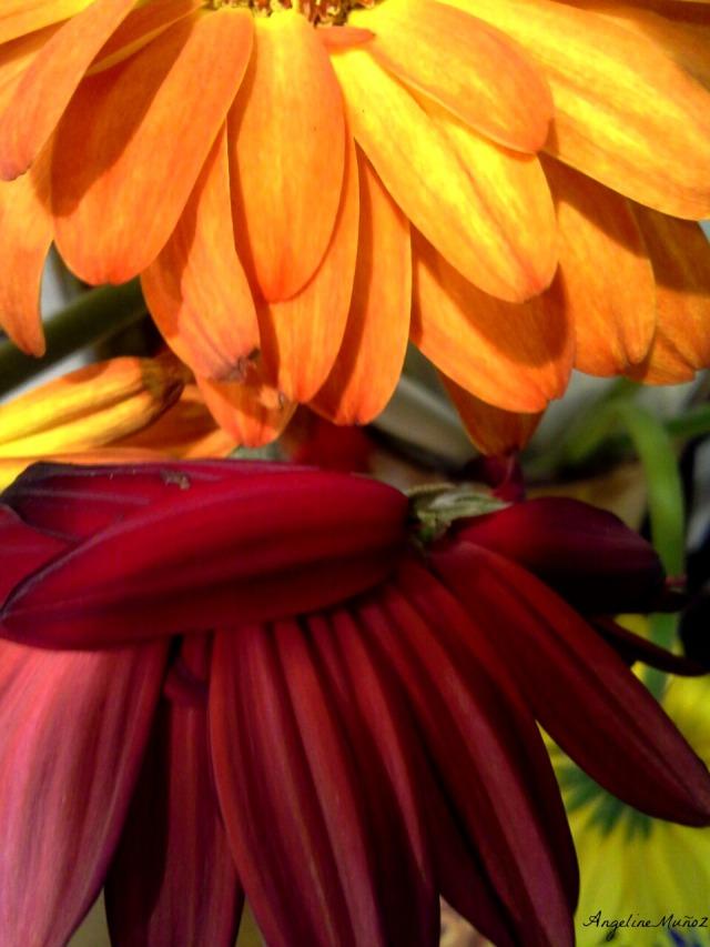 orangeingerberas