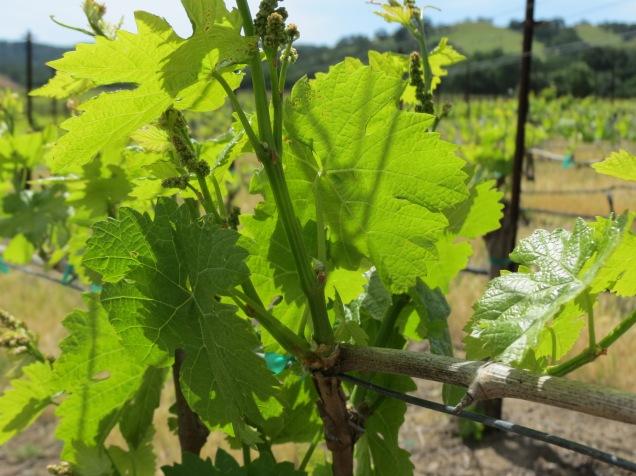grapes forming