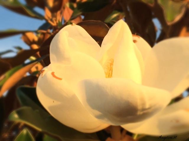 flowerwhitemagnoliafinal