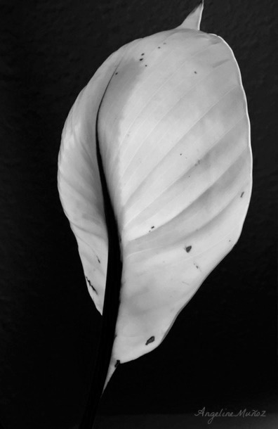 blackandwhitepeacelilyfinal