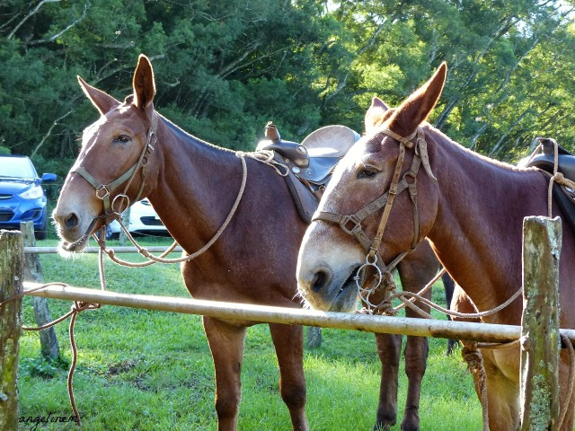 kalaupapa-mule-ride2