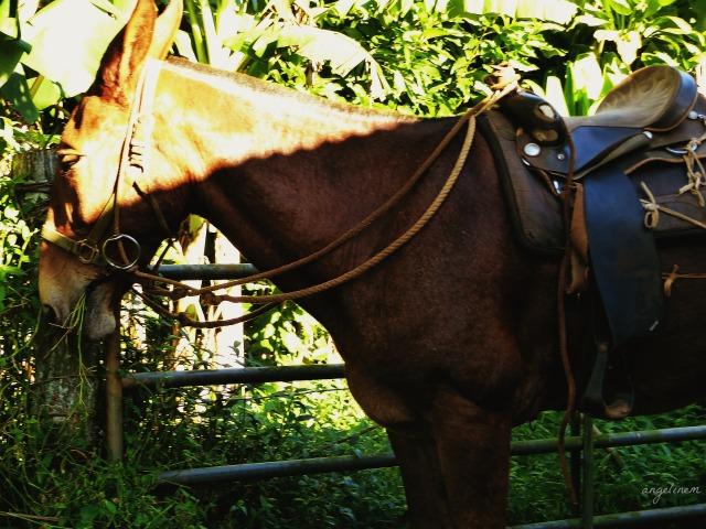 kalaupapa-mule-ride4