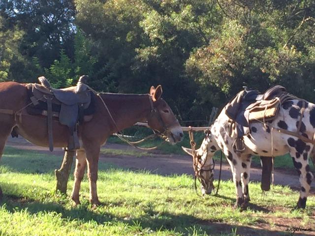 kalaupapa-mule-ride8
